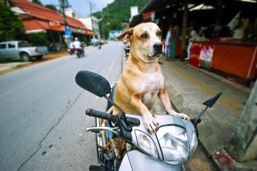 hund kører på scooter i thailand